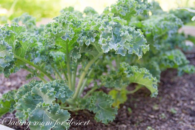 """Each summertime I similar to characteristic our fresh garden vegetables together with fruits inwards recipes posted on  """"Garden to table"""" Butternut Squash together with Kale Strata"""