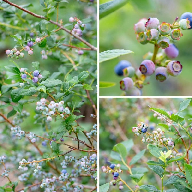 a collage of blueberry bushes with ripe blueberries for picking