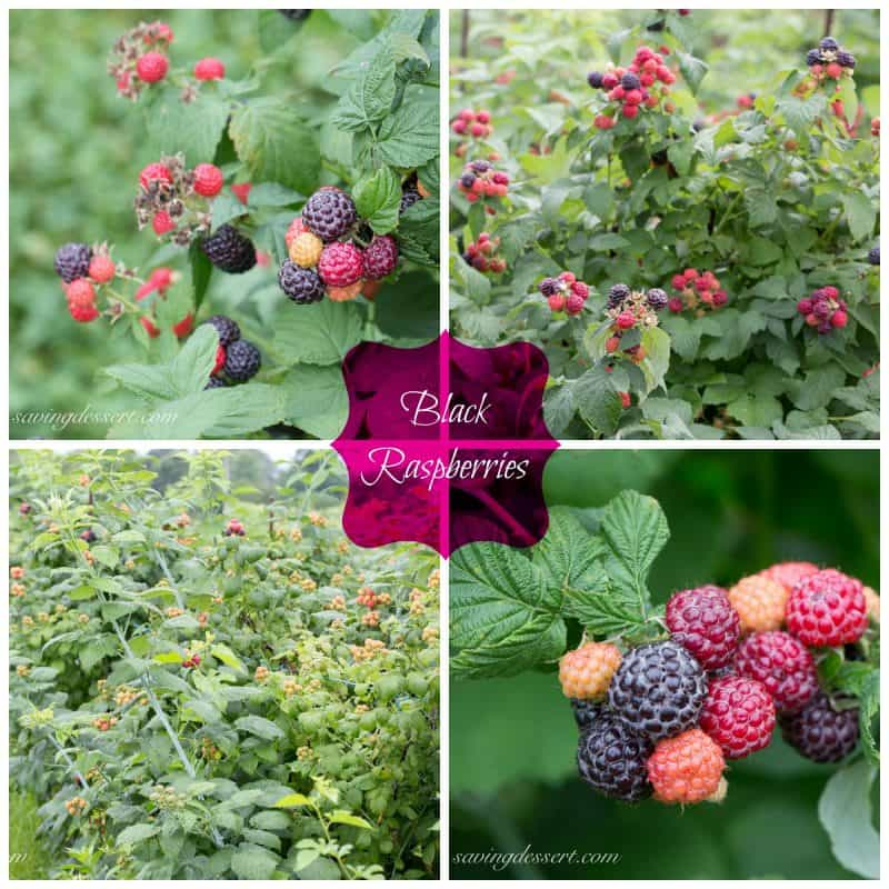 A collage of photos showing black raspberries on the vine ready to pick