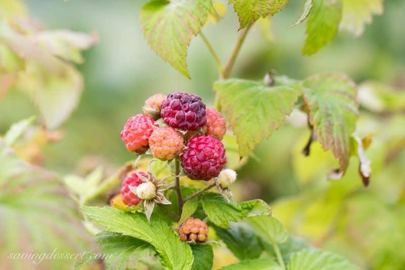 A cluster of black raspberries on the vine