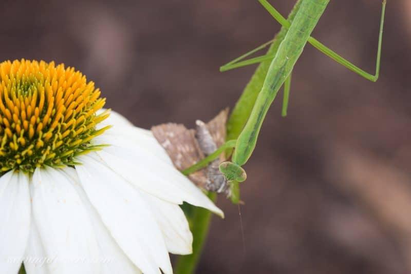 Dinner Interruptis - Praying Mantis eating a moth | www.savingdessert.com
