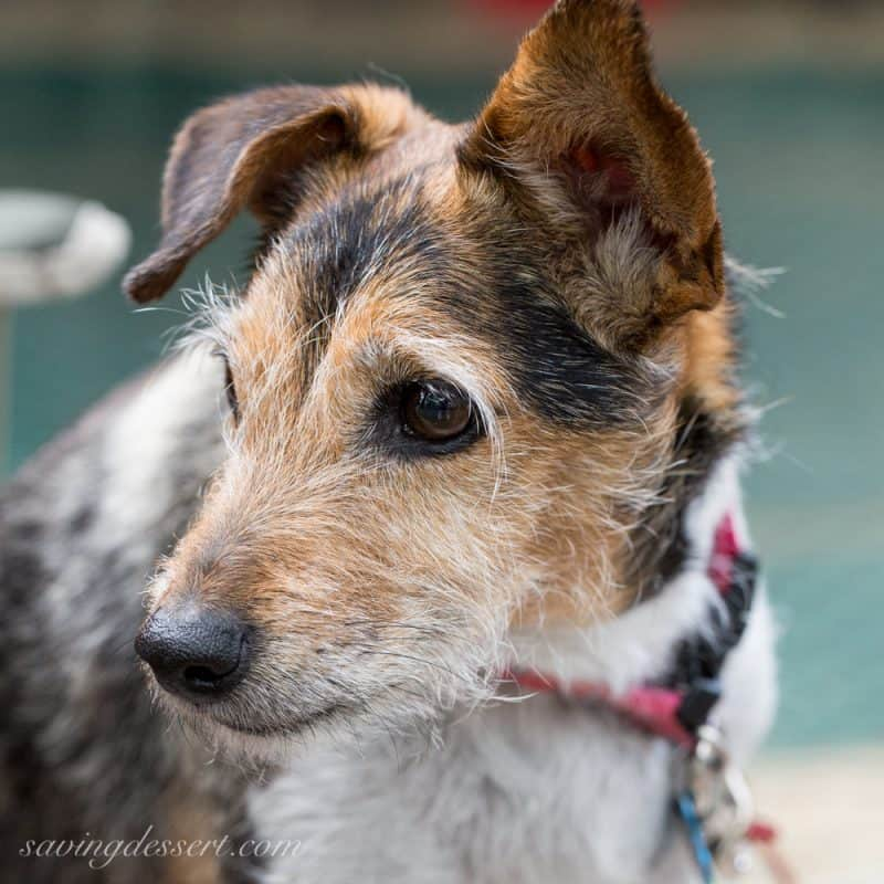 Mocha - a Parson Russell Terrier