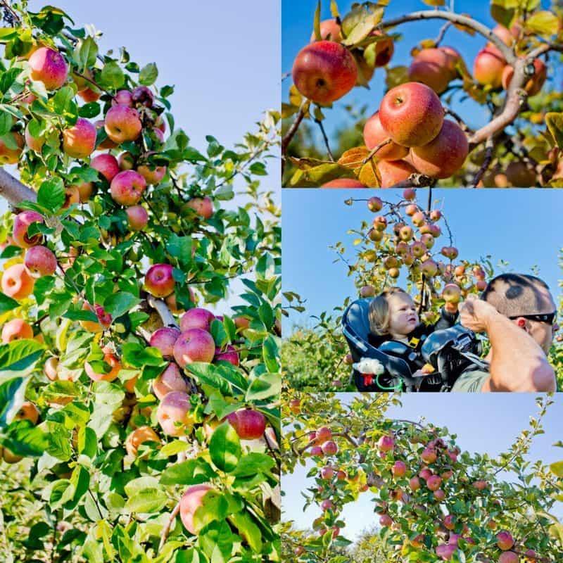 Apple Picking on Carter Mountain Virginia October 2017