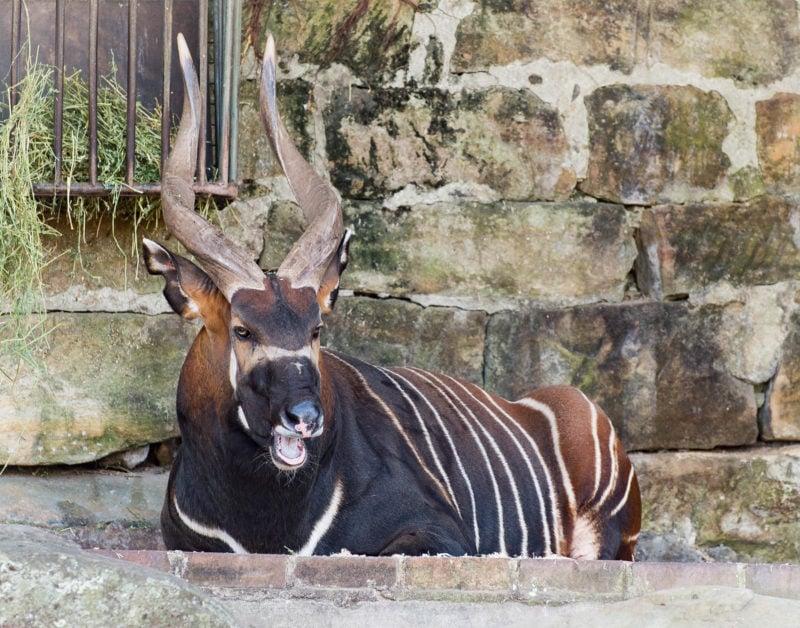 The Eastern or Mountain Bongo antelope at the Taronga Zoo