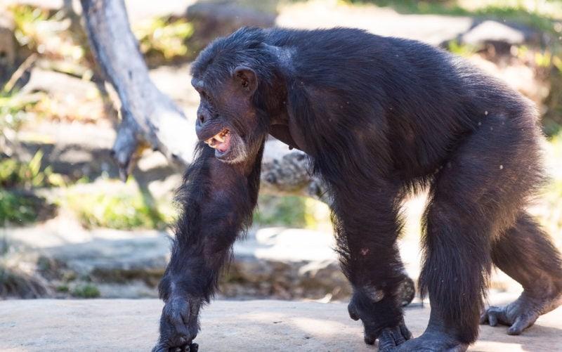 Chimpanzee at the Taronga Zoo