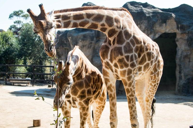 Taronga Zoo, Sydney Australia giraffes