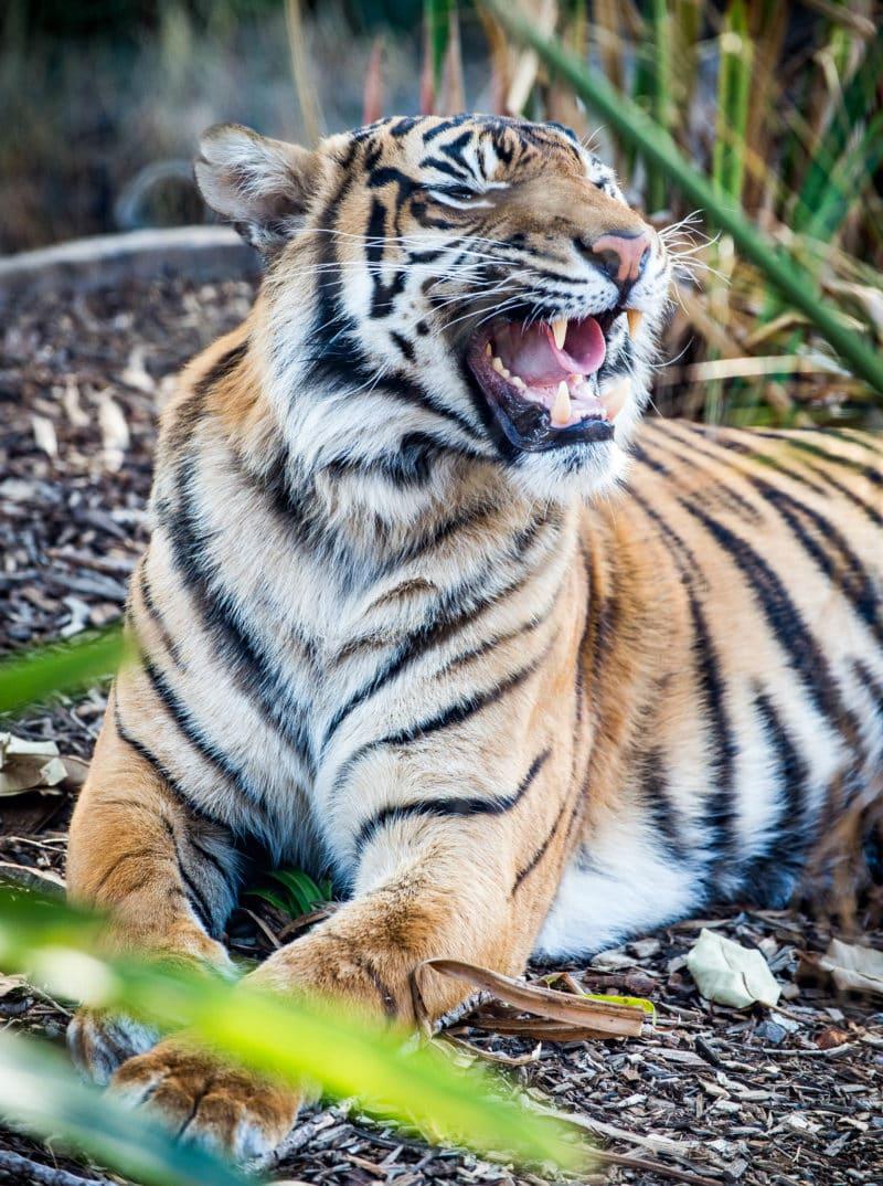 female Sumatran Tiger at the Taronga Zoo