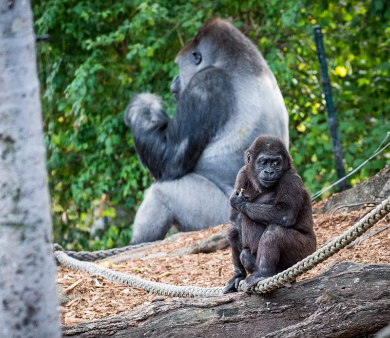 Western Lowland silverback Gorilla at the Taronga Zoo