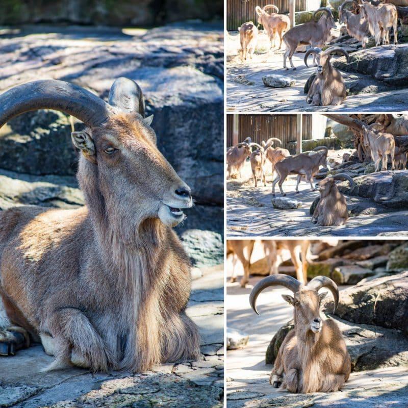 Barbary Sheep collage from the Taronga Zoo