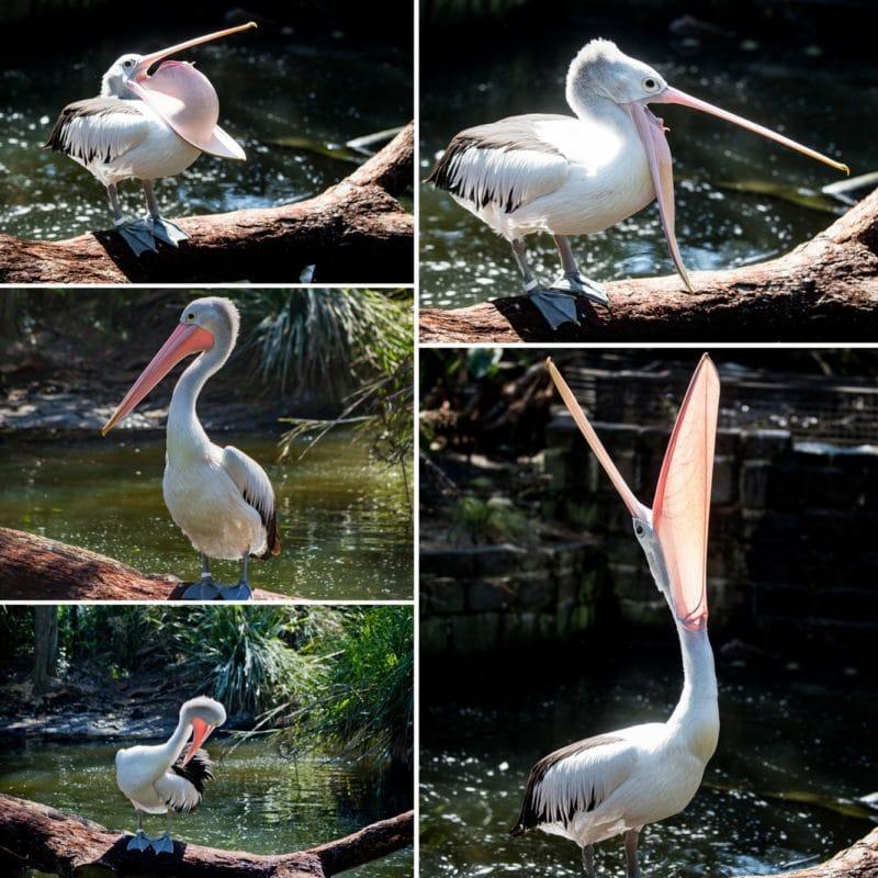 Australian Pelican collage from the Taronga Zoo