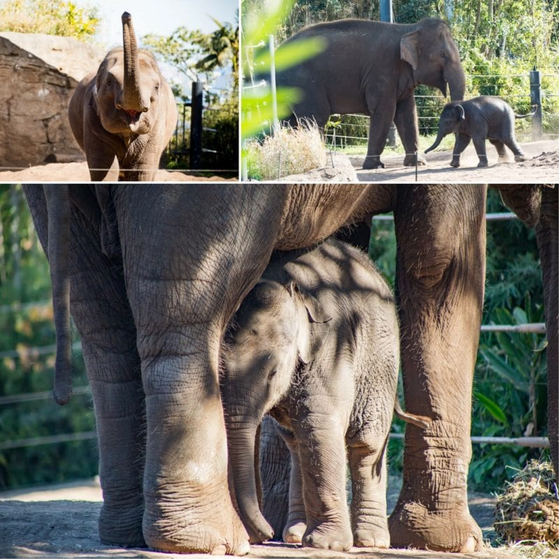 collage of Asian elephants, mother and baby