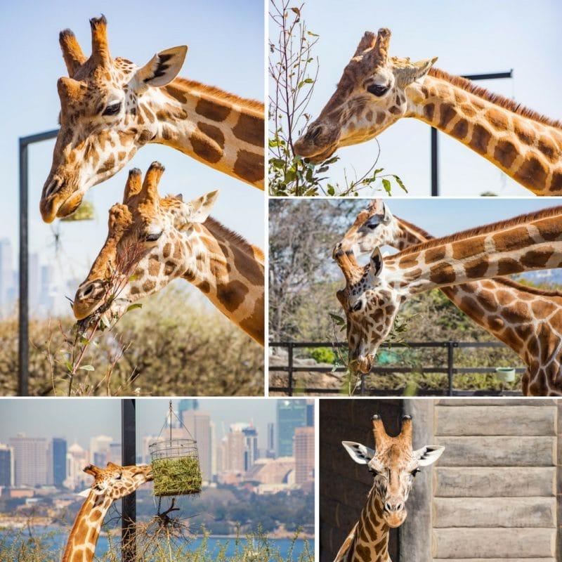 Taronga Zoo, Sydney Australia giraffes collage