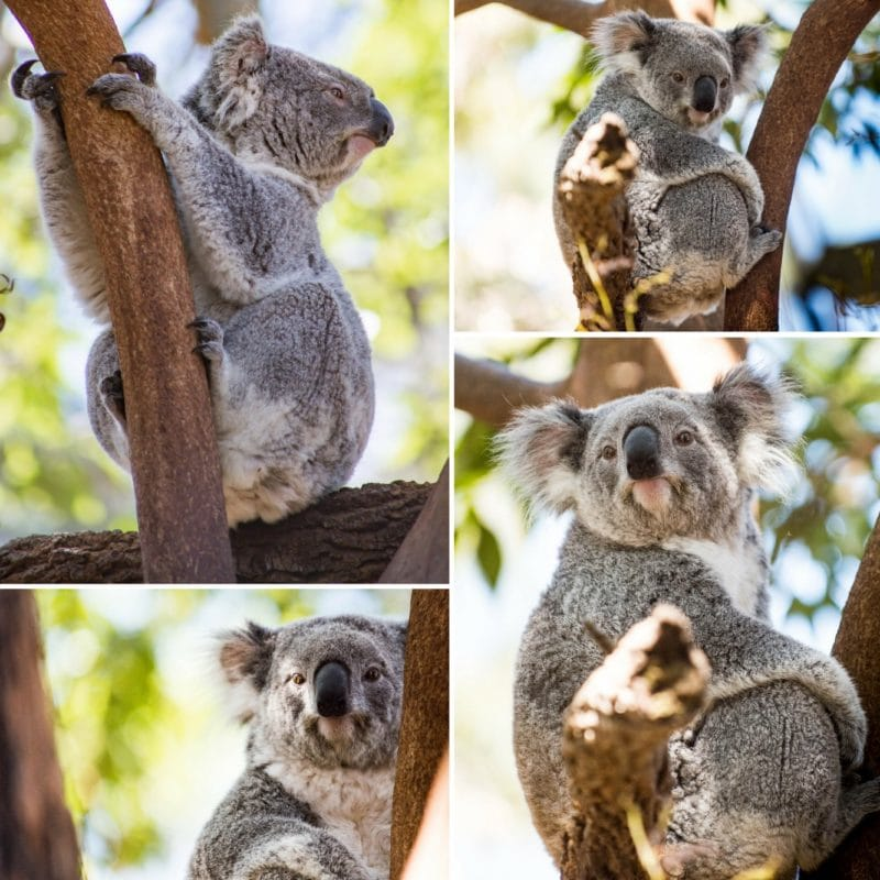 A collage of photos of Koalas at the Taronga Zoo