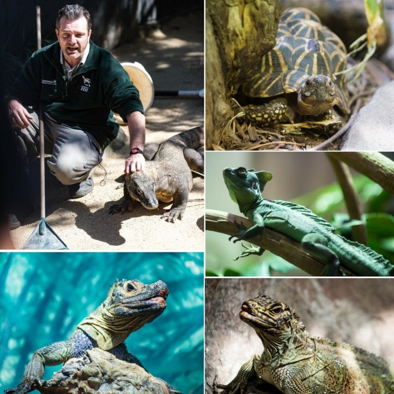 Various reptiles and a zoo keeper in a collage from the Taronga Zoo