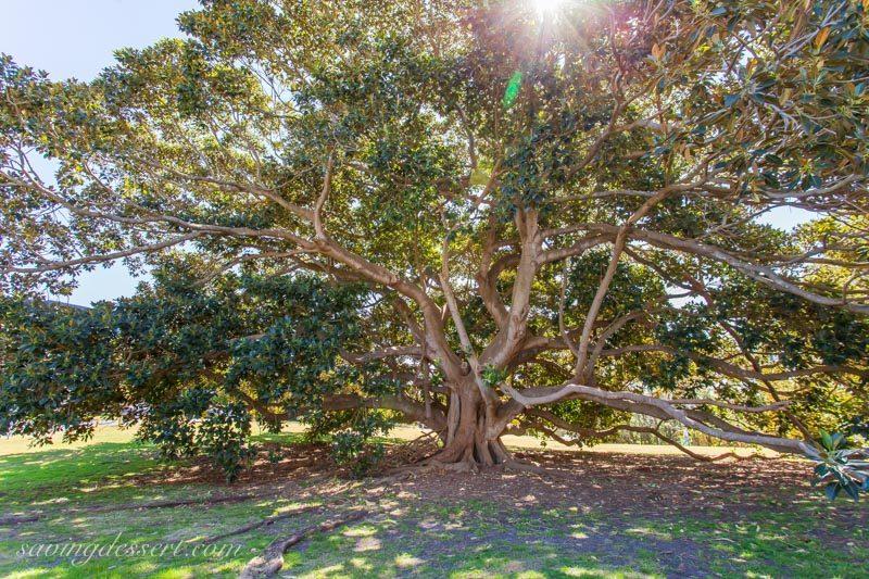 sprawling evergreen ficus macrophylla (orAustralian banyan) tree