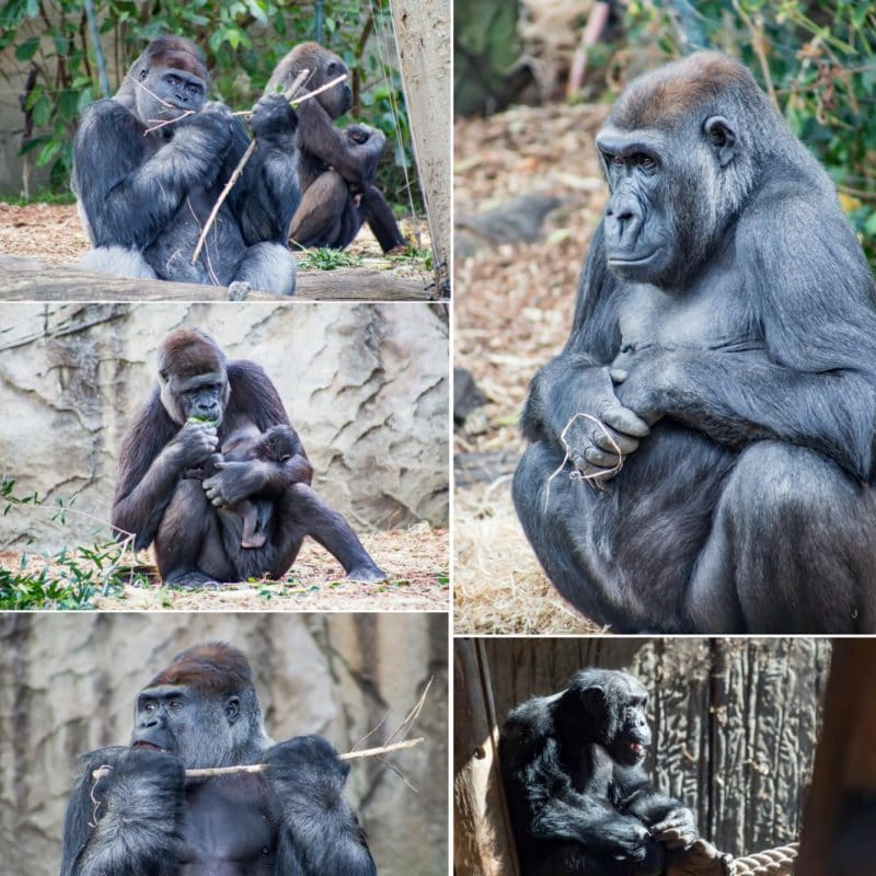 Western Lowland Gorillas and Chimpanzees at the Taronga Zoo in a collage