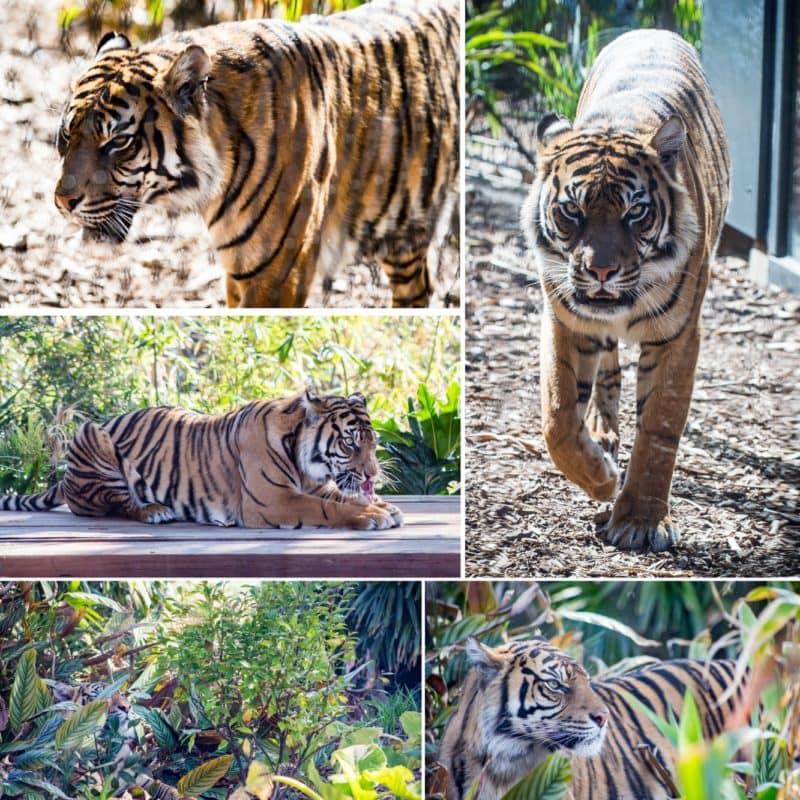 Collage of female Sumatran Tiger at the Taronga Zoo