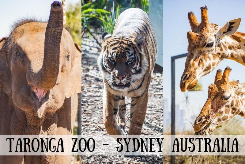 When traveling to Sydney, Australia, don't miss a visit to the excitingTaronga Zoo. #savingroomfordessert #travel #adventure #zoo #australia #sydney #tarongazoo #taronga #downunder