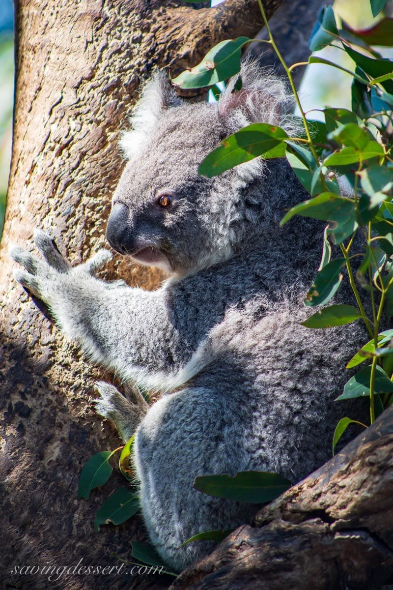 Koala in a tree at the Taronga Zoo