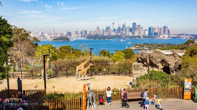 Giraffes from the Taronga Zoo, Sydney Australia city scape in the background