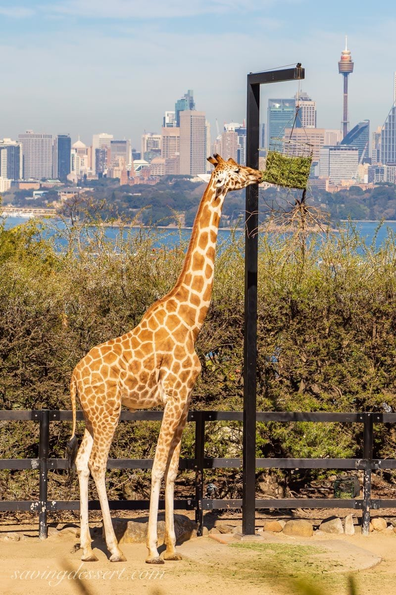 Taronga Zoo giraffe eating grass and Sydney city scape in the background