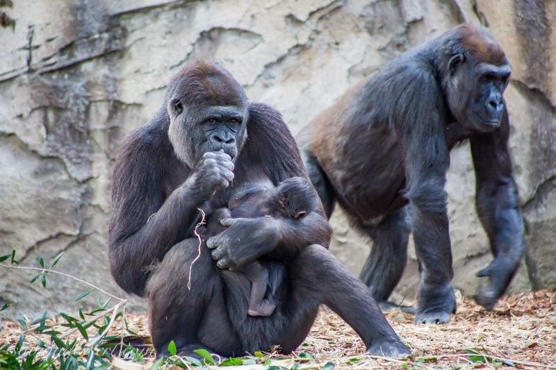 Western Lowland Gorillas at the Taronga Zoo