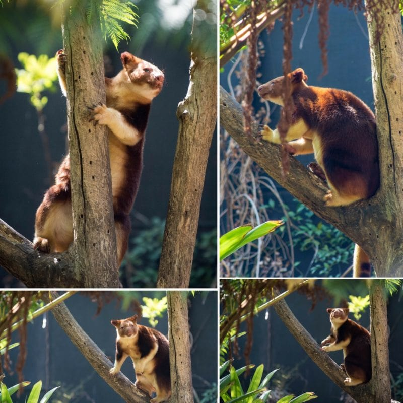 Goodfellow's Tree Kangaroo collage at the Taronga Zoo