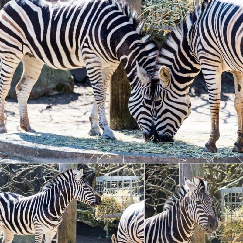 collage of Plains Zebra - Taronga Zoo