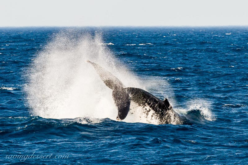 Whale fin splashing off the coast of Sydney Australia
