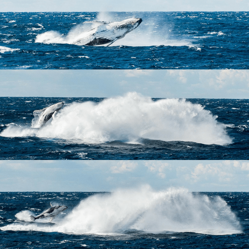 Collage of mother whale breaching the water while baby whale does the same