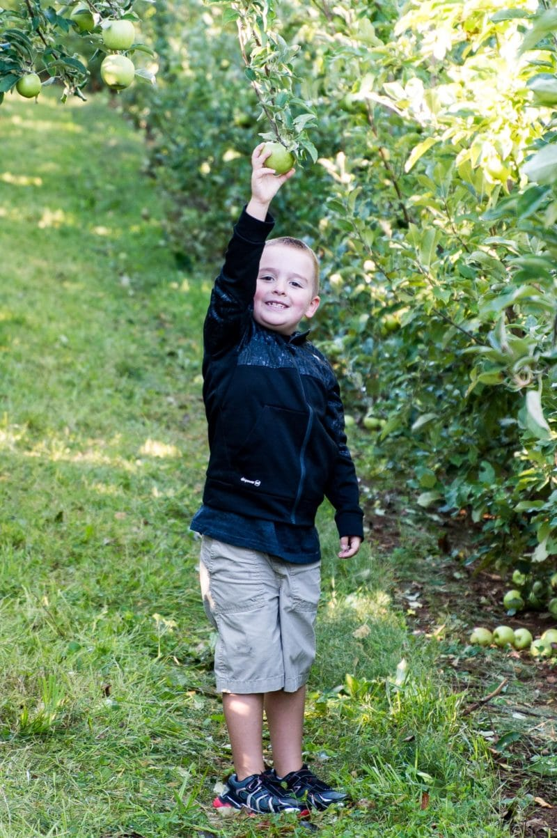 Grandson Isaac picking Granny Smith apples from a tree